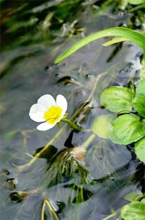 Photo of Water Buttercup